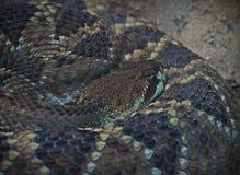 Змейка трещотки Стоковое Фото