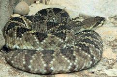 Змейка трещотки Стоковые Изображения
