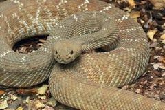 Змейка трещотки стоковое фото rf