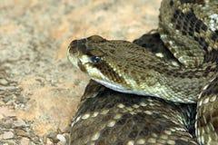 Змейка трещотки Стоковые Фотографии RF