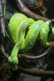 Змейка тропического леса Стоковые Фотографии RF