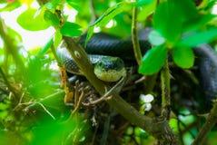 Змейка черной крысы завитая в гнезде птиц в Rosebush стоковое фото