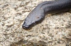 змейка черной крысы Стоковая Фотография RF