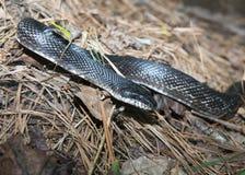 змейка черной крысы Стоковая Фотография