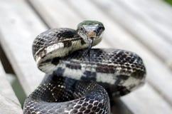 Змейка черной крысы colied для того чтобы поразить разветвила язык Стоковое фото RF