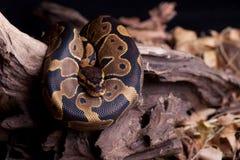 змейка Стоковая Фотография
