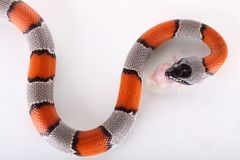 змейка Стоковая Фотография RF