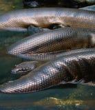 Змейка Anaconda стоковая фотография rf