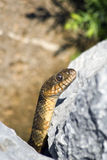 Змейка Brown на утесах Стоковые Фото