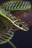 Змейка/Chrysopelea летания paradisi Стоковое фото RF