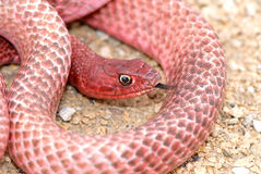 змейка coachwhip texas западный Стоковое Изображение RF