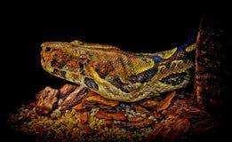 змейка constrictor горжетки Стоковое Изображение RF