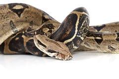 Змейка Constrictor горжетки Стоковые Фото