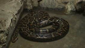 змейка constrictor горжетки сток-видео