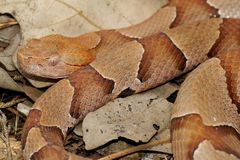 Змейка Copperhead, phaeogaster contortrix Agkistrodon Стоковая Фотография
