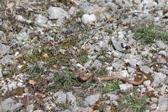 змейка coronella austriaca ровная Стоковое Фото