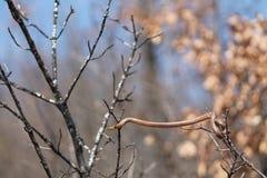 змейка coronella austriaca ровная Стоковое Изображение RF