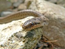 змейка elaphe dione стоковое фото rf