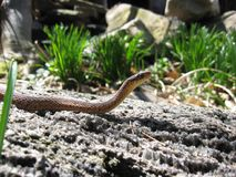 Змейка Gardner Стоковые Фото