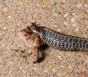 змейка gartner заглатывая жабу Стоковые Изображения RF