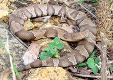 змейка osage copperhead contortrix agkistrodon Стоковое фото RF