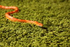 Змейка Pantherophis Guttatus, змейка мозоли Стоковая Фотография