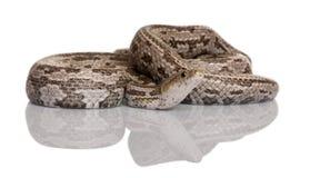 змейка ratsnake s крысы baird Стоковые Фотографии RF