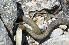 Змейки воды в Чёрном море (tessellata кости змейки, ужа) Стоковая Фотография RF