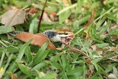 Змейки едят лягушек Стоковая Фотография