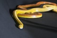 Змейки мозоли Стоковые Изображения