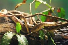 змейки Стоковое Изображение RF