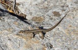 Змейк-наблюданное Lacertid Стоковое Фото