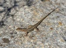 Змейк-наблюданное Lacertid Стоковые Изображения RF