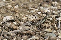 Змейк-наблюданное Lacertid Стоковое Изображение RF