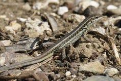 Змейк-наблюданное Lacertid Стоковая Фотография