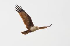 Змей Brahmini летая величественно Стоковые Фото