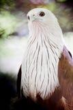 Змей Brahminy (поддерживаемый Красно орел моря) Стоковые Фото