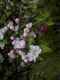 Знаки весны, первого цветут на деревьях Стоковые Изображения RF