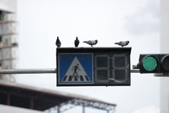 Знак уличного движения скрещивания с птицей голубя на предпосылке неба Стоковое Изображение RF