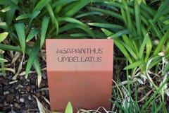 Знак umbellatus Agapanthus Стоковые Изображения