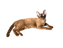 Знамя бирманского кота Стоковые Изображения RF