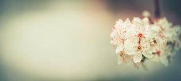 Знамя весеннего времени флористическое с вишневым цветом, внешней природой весны Стоковые Фотографии RF