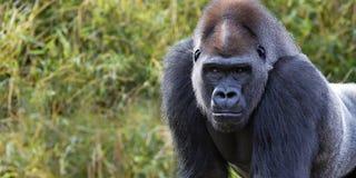 Знамя гориллы Стоковые Фотографии RF