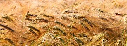 Знамя золотого пшеничного поля Стоковое Изображение