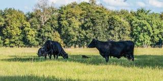 Знамя коров и икр Ангуса стоковые изображения rf
