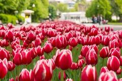 Знамя красного и белого натюрморта весны тюльпанов Стоковые Фото