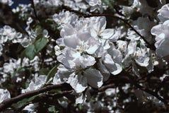 знамя предпосылки цветет формы меньшяя розовая спираль Blossoming яблоко, цветя яблоко Стоковое Фото