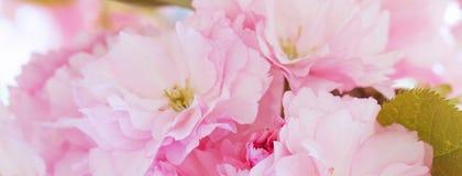 Знамя Сакуры, розовых вишневых цветов Стоковые Фото