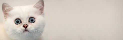 Знамя сети для места - головы белого котенка с голубыми глазами на мягкой предпосылке стоковая фотография