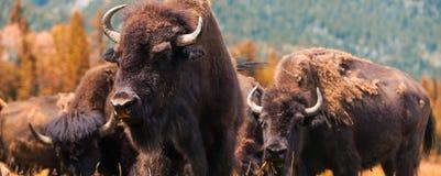 Знамя сети панорамы американского бизона или буйвола стоковая фотография